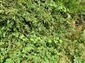 Blackheath Clump hedge